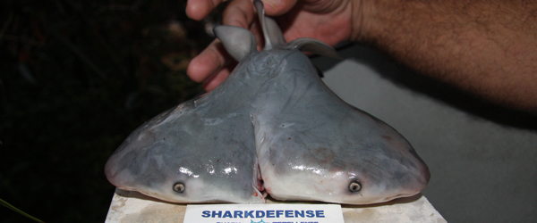 Two-headed Bull Shark Fetus Found by Gulf of Mexico Fishermen